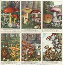 Chromo Liebig Sang. 1492 SVI Funghi Commestibili II ANNO 1950
