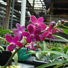 Rare orchid species seedling - Opsistylis suree