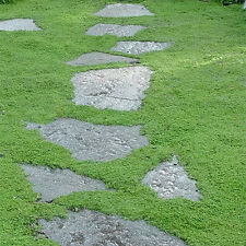 Irish Moss Seeds Sagina Subulata Seed 20pcs/bag Home Garden Creative Garnish DIY