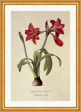 Barbados-Giglio RONCOLA Astrum puniceum Amaryllis Fire Lily ROSSO VERDE Redoute 005