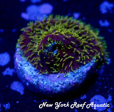 New York Reef Aquatic - 0916 F1 Jf Freak Hair Wysiwyg Live Coral