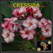 ❀⊱ PLUMERIA ❀ FRANGIPANI ❁ CRESSIDA ❁ HYBRID ✾ 5 SEEDS Ƹ̵̡Ӝ̵̨̄Ʒ⊰❀ P 9
