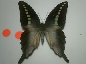 Real Insect/Butterfly/Moth Set Spread B7251 Large Graphium codrus codrus