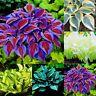 Neu Selten Girlande Flamme Lilium Blume Saat Blumen Lilie 50 Samen / Packung