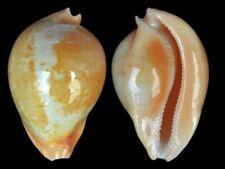 Cypraea armeniaca - Shells from all over the World NEW!!!