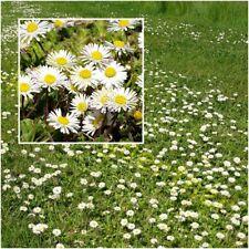 1000 Samen Wiesen Gänseblümchen Bellis perennis Blühender Rasen