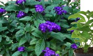 Balkonpflanze Vanilleblume SCHÖN Blühend Duftend Gewachsene Pflanze