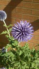 Globe Thistle 'Veitch's Blue' (Echinops ritro)  - 75 Seeds