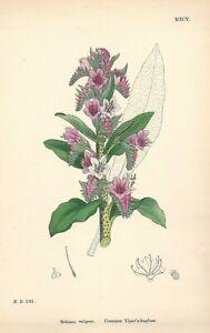 """Antique Hand Colored Plates (1867) – """"Common Viper's-bugloss; Echium vulgare"""""""