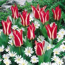 Dwarf Tulip Bulbs Flower Perennial Gift Red Lemon Yellow Resistant Rockery Plant