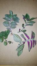 3x BABY WANDERING JEW HOUSE PLANTS PURPLE - HAS WHITE FLOWER -Unrooted