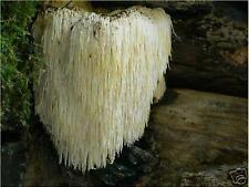 Lions Mane Mushroom Plug Spawn 100 Plugs ~ Crab Flavor ~ Mycelium Log Grow Kit