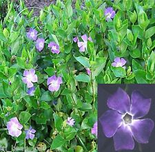 Big Green Leaf Vinca Major 10 Bare Root Plants Big leaf Periwinkle Vine Myrtle