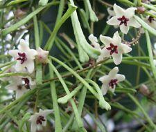 Hoya retusa Wax House Plant x 1 well rooted cutting