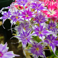 50Pcs Colorful Phlox Flower Seeds Rare 4 Kind Bonsai Perennial Garden Office