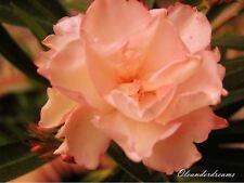3 Oleander Stecklinge - PROVENCE - lachs orange gefüllt