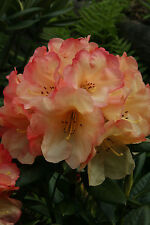 Rhododendron Seaview Sunset   -  #1 Container Size Plant - Bright Orange Blooms