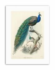 ANIMAL PEACOCK BIRD SCIENTIFIC PAVO CRISTATUS Canvas art Prints