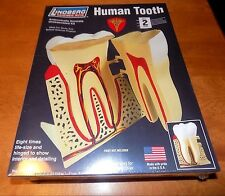 LINDBERG SCIENCE HUMAN TOOTH 8X LIFE SIZE ANATOMICALLY ACCURATE MODEL KIT NEW