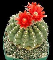 10 Gymnocalycium baldianum SEMI CACTUS GIARDINO FIORI seeds korn no astrophytum