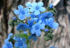Chinesisches Sommer Vergissmeinnicht Blau *blüht bis zum Frost* - 100 Samen