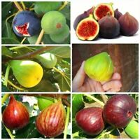 50 Fig Tree Seeds Mixed Rare Edible Exotic Fruit Sweet Tropical Bonsai Plant
