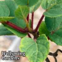 HARDY KIWI FRUIT Plant - Edible Fruit Vine Actinidia chinensis Tomuri Male