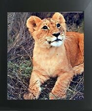 Lion Cub Big Cat Wild Animal Wall Decor Contemporary Black Framed Art Picture