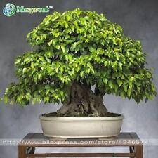 50PCS/bag Korean hornbeam mini bonsai tree seeds for home garden very beautiful