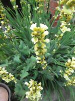 SISYRINCHIUM STRIATUM - YELLOW FLOWER PERENNIAL - 50 SEEDS