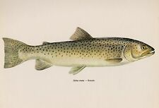 Vintage FISH Print BROWN TROUT Female Fishing Collectible Beach Decor #1778