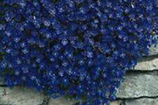 50+ Aubrieta Rock Cress Blue Flower Seeds / Perennial