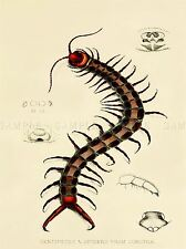 PAINTING BOOK PAGE NATURAL HISTORY SOKOTRA FORBES CENTIPEDE ART PRINT LAH361A