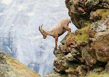 A3| Alpine Goat Poster Size A3 Zermatt Switzerland Wild Poster Gift #16515