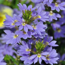 SCAEVOLA nitida Sapphire Skies Flower Seeds (F 64)