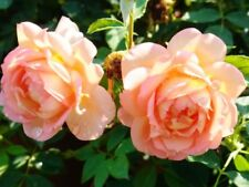 """Englische Austin Rose """"Lady of shalott""""® duftend im 7 L Container"""