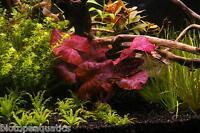 3 Nymphaea ZENKERI Red Tiger Lotus bulb live aquarium plant tropical betta hide