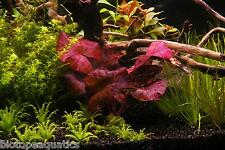 4 Nymphaea ZENKERI Red Tiger Lotus bulb live aquarium plant tropical betta hide