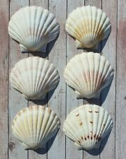 More details for 12x large natural scallop shells washed white clean 100%uk scallop shell 10-14cm