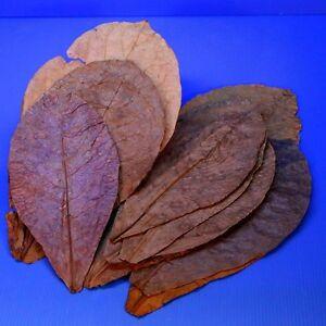 "Catappa Leaves Tantora 10pcs 7""~12"" Grd A Indian Almond Leaf KETAPANG aquarium"