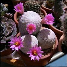 20pcs Imported succulent Plant Seeds Cactus Mammillaria herrerae