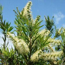 WILDERNESS WHITE Callistemon viminalis native flower bottlebrush plant 140mm