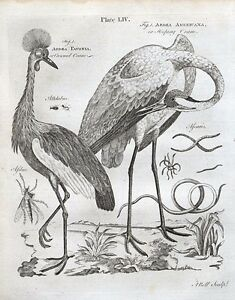 1797 Ardea Pavonia Americana Crowned Hooping Crane Antique Print + Text