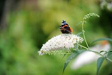 Buddleia davidii 'White Profusion' In 9cm Pot Stunning Buddleja Butterfly Bush