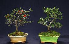 Dwarf Pyracantha Bonsai Outdoor Bonsai Tree Flowering and Fruiting Dp9022