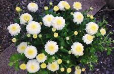100Pcs Chrysanthemum Fresh Seeds Organic Flowers Perennial Summer Home Garden