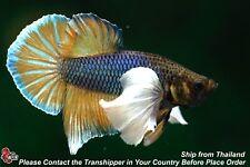 New listing Live Betta Fish Pineapple Dumbo Ear Male Hmpk #C278