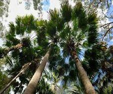 Cabbage palm (Livstonia australis) x2 plants native feature plant