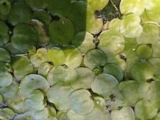 Floating plant package Frogbit, Salvin ia minima, fairy moss, duckweed 100 plants