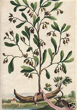 Abraham Munting 1711 cardamon spice botanical medicinal plant HC engraving